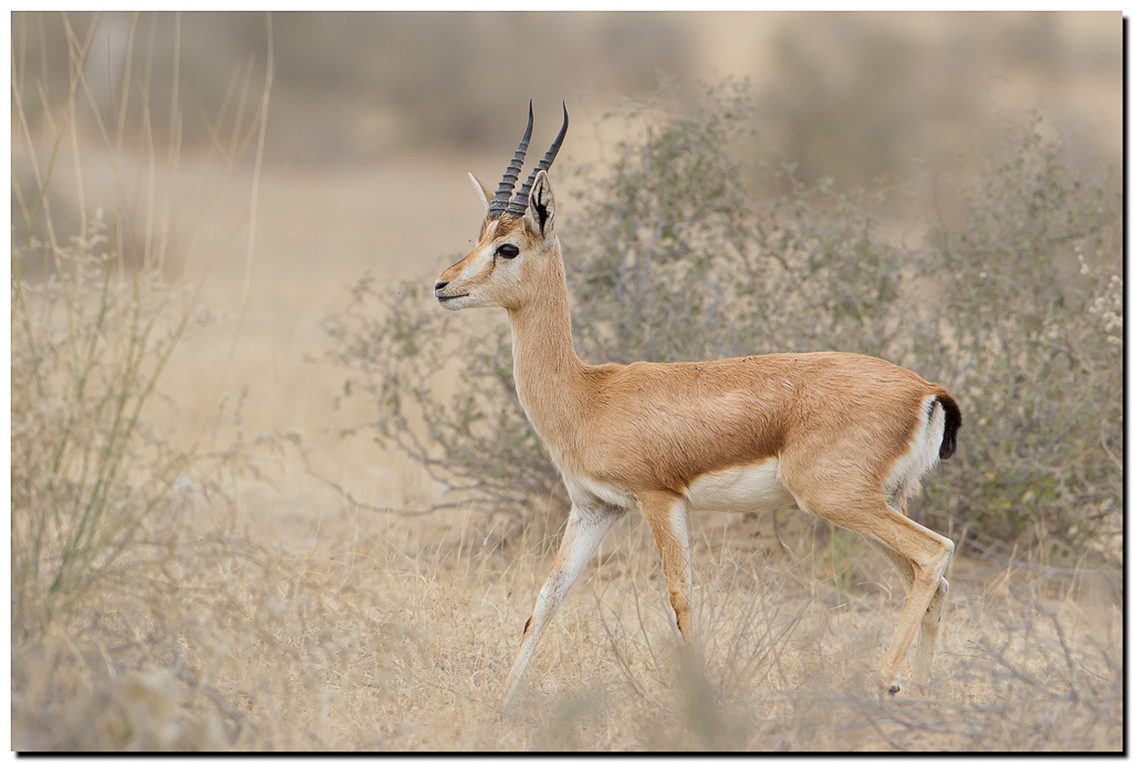 Chinkara_gazella